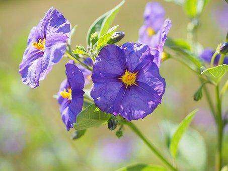 Blossom, Bloom, Violet, Bush, Purple, Blue Violet
