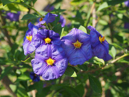Flowers, Violet, Bush, Purple, Blue Violet