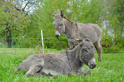 Ass Lying Down, Donkey Standing, Complicity, Companion