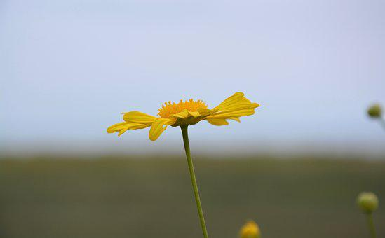 Flower, Yellow Daisy, Yellow Petals, Marguerite, Nature