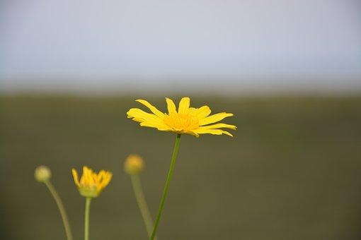Yellow Flower, Marguerite, Petals, Flowering, Garden