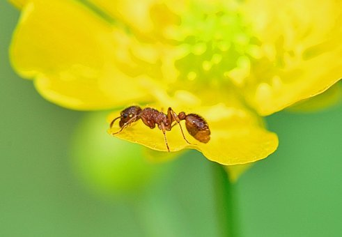 Nature, Ant, Foreground, Insect, Yellow, Flowers, Macro