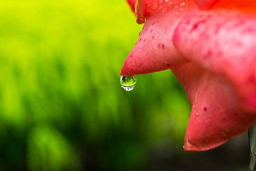 Flower, Macro, Water Drop On Flower, Petal, Fresh