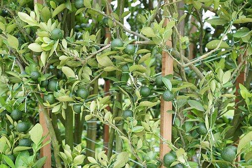 Flowering, Lime Plant, Plant Nursery Retail Nurseries