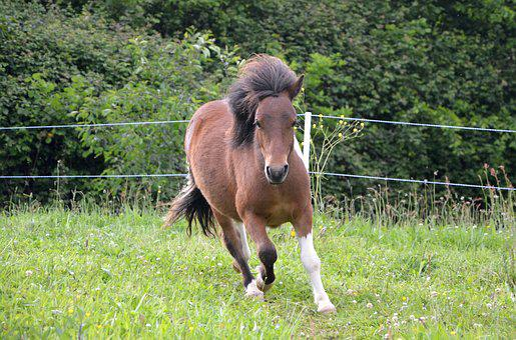 Shetland Pony Running, Mane, Wind, Toupet, Promenade