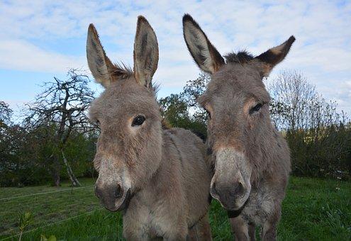 Donkeys, Heads Against Donkeys, Long Ears, Nostrils