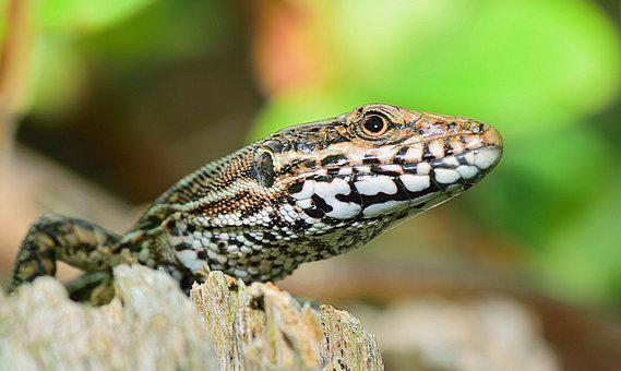 Nature, Lizard, Reptile, Animals, Animal, Reptiles