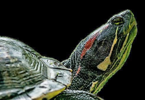 Turtle, Panzer, Animal, Water Turtle, Reptile