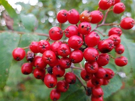 Rowan Berries, Tree, Rowan, Red, Berry, Colors, Summer