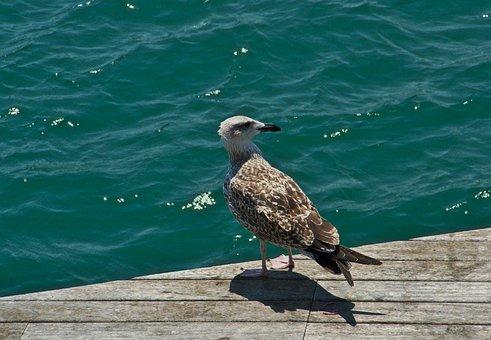 Seagull, Gull, Bird, Nature, Sea, Animal, Wildlife