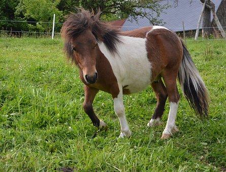 Shetland Pony, Mini Horse, Mane, Toupet