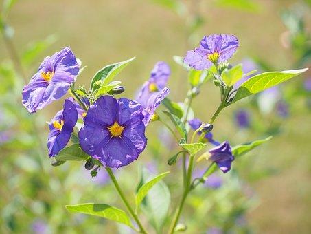 Flowers, Violet, Bush, Purple, Blue Violet