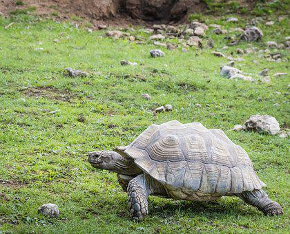 Tortoise, Large, Wildlife, Reptile, Fauna, Shell