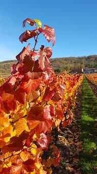 Vine, Vineyard, Leaves, Winery, Grape, Harvest