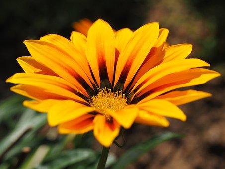 Gazanie, Flower, Blossom, Bloom, Yellow, Orange, Bloom