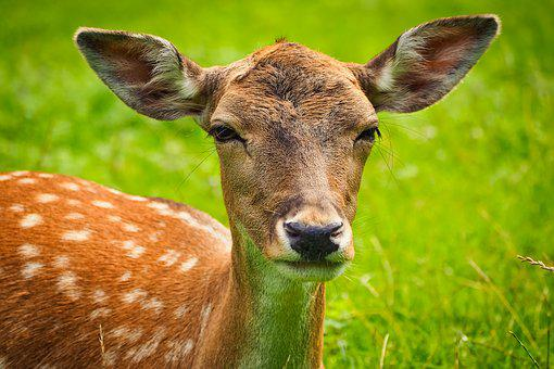 Roe Deer, Animal, Wild, Wildlife Park, Eat, Portrait