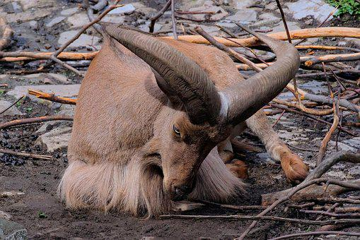 Animal, Horns, Nature, Buck, Animals