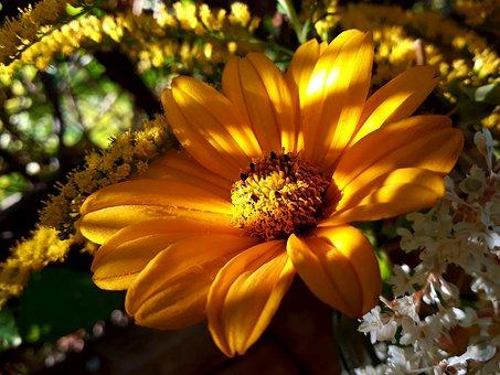 Sunflower, Golden Rod, Autumn Sun, Perennial Sunflower