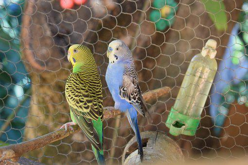 Parakeet, Bird, Brazilian Bird, Couple Of Birds