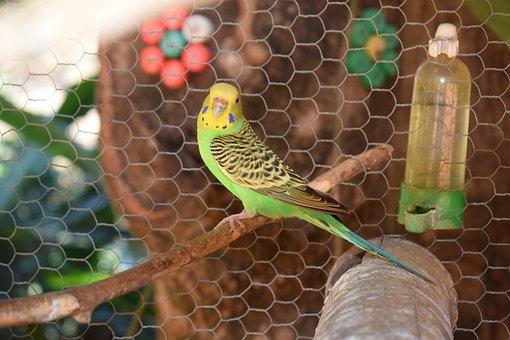 Parakeet, Bird, Colorful, Birdie, Nature, Looking