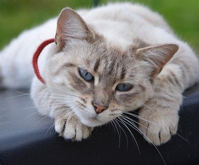 Cat, Cat Lying, Tranquil, Quiet, Domestic Animal