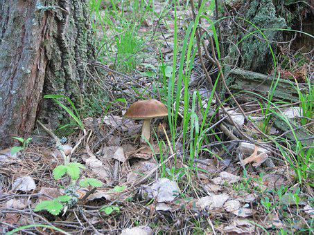 Forest, Grass, Mushroom, Nature, Summer, Cones, Brown