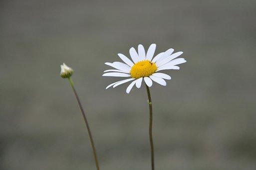Flower, Marguerite, Flower Bud, Garden, Nature, Petals