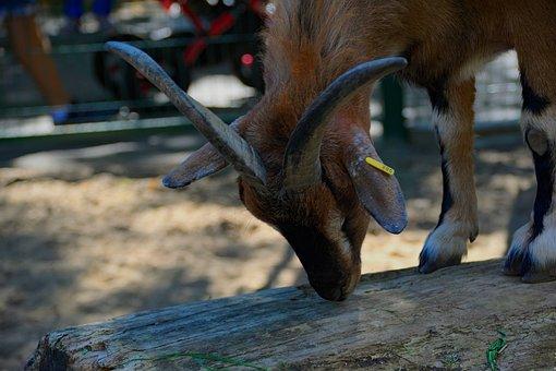 Goat, Horns, Animal, Buck, Nature, Goats, Flora