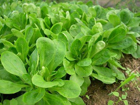 Lamb's Lettuce, Vegetables, Salad, Frisch, Green, Eat