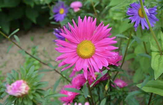 Flowers, Flower, Marguerite Bright Pink, Purple, Yellow