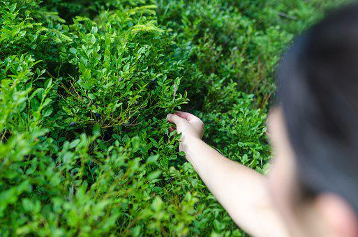 Hand, Berry, Nature, Bush, Natural, Organic, Blueberry