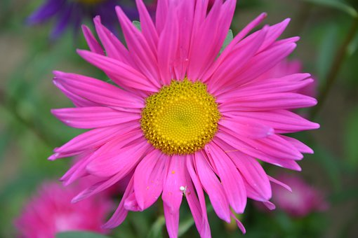 Flower, Bright Pink, Marguerite, Pink Flower, Nature