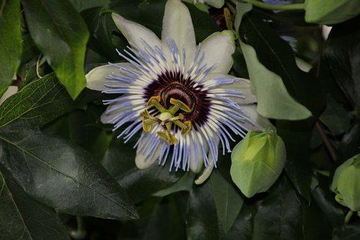 Passiflora Caerulea, Common Passion Flower, Macro Photo