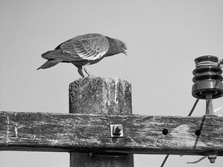 Pigeon, Bird, Animals, Birdie, Nature, Pigeon Nest