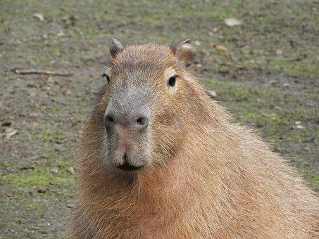Wild, Rodent, Guinea Pig, Animal, Wild Animal