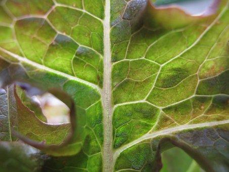 Custody Leaf, Salad, Vegetables, Close-up, Macro, Close