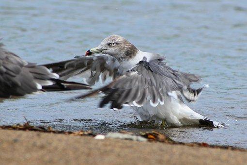 Animal, Sea, Beach, Sea Gull, Seagull, Seabird, Wings