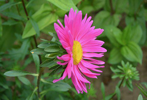 Flower, Marguerite Bright Pink, Yellow, Green Leaves