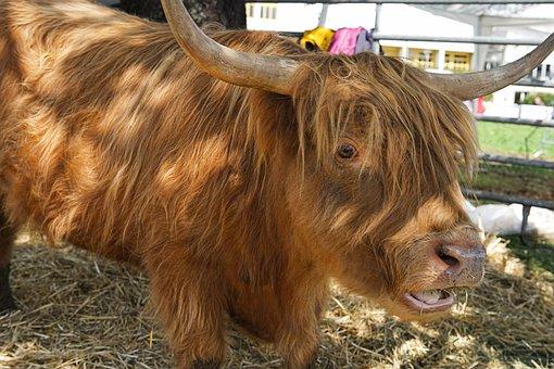 Beef, Animal, Highland Beef, Scotland, Galloway Beef