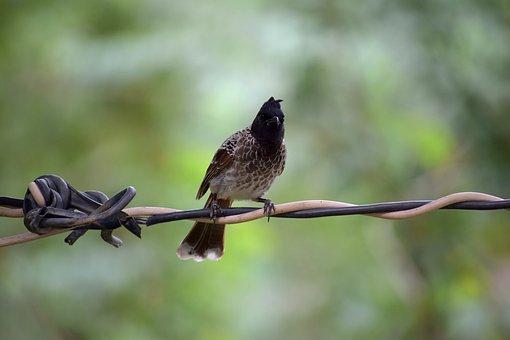 Bird, Nature, Bulbul, Wildlife, Natural, Wild, Colorful