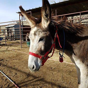 Jenny, Burro, Donkey, Ears, Ass, Jennet, Red, Halter