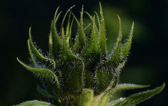 Sunflower, Bud, Green, Close Up, Dew, Dewdrop
