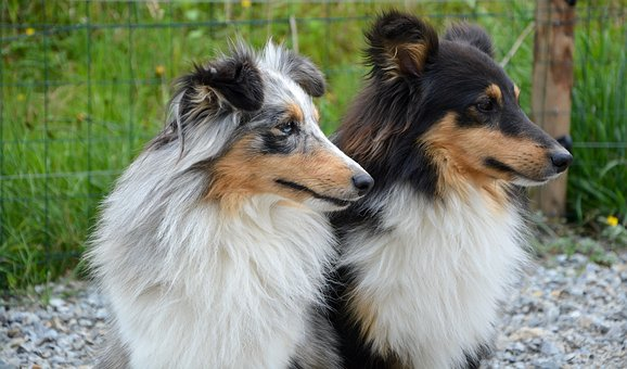 Dog, Dogs, Shetland Sheepdog, Heads Profiles