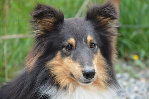 Dog, Shetland Sheepdog, Portrait, Brown Eyes, Ears