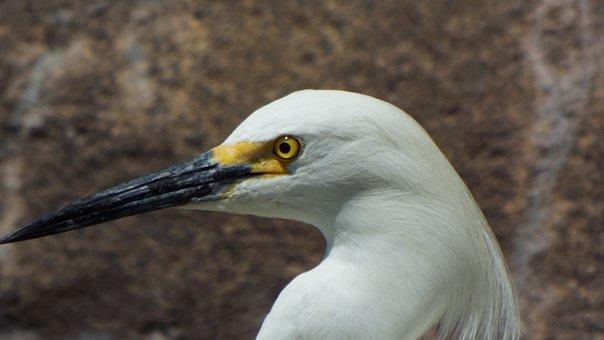 Snowy Egrets, Bird, Egret, White, Wildlife, Wing