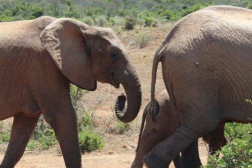 South Africa, Elephant, Addo National Park