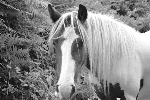 Horse, Equine, Photo Black White, Pre, Mane, Animal