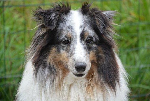 Dog, Shetland Sheepdog, Female, Color Blue Merle