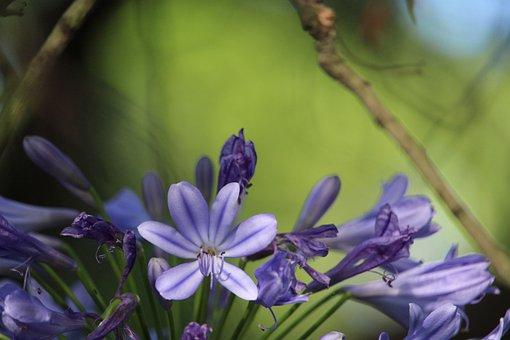 Flower, Agapanthus, Purple, Floral, Nature