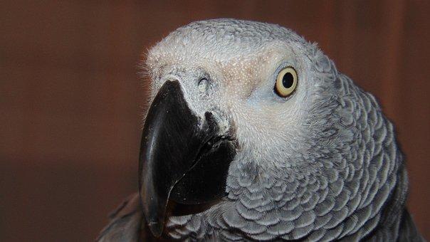 African Grey, Parrot, Beak, Eye, African, Grey, Pet